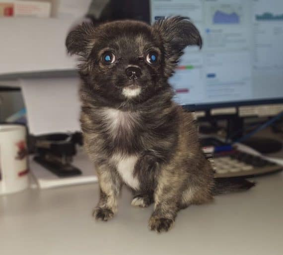 New Garage Mascot 'Lizzie' the Chihuahua introduced today